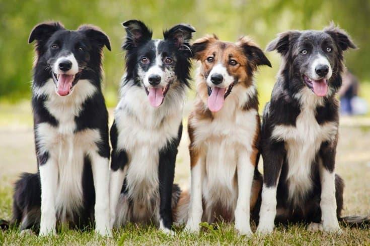 Border Collie Pet Insurance