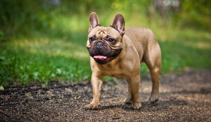 French Bulldog Pet Insurance