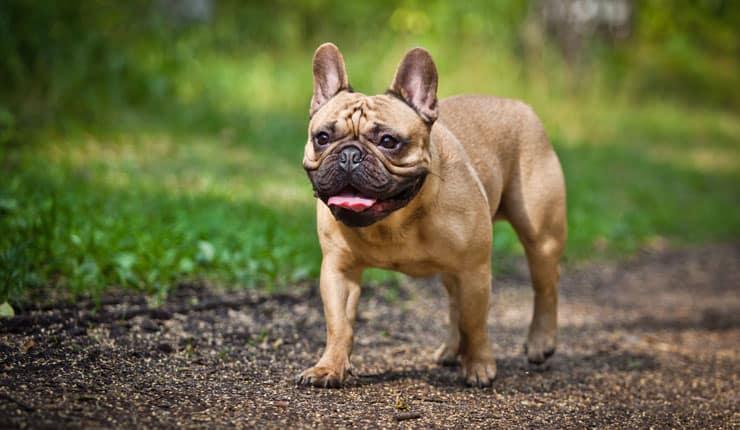 French Bulldog Pet Insurance
