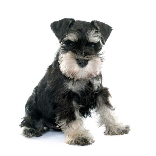Miniature Schnauzer Pet Insurance