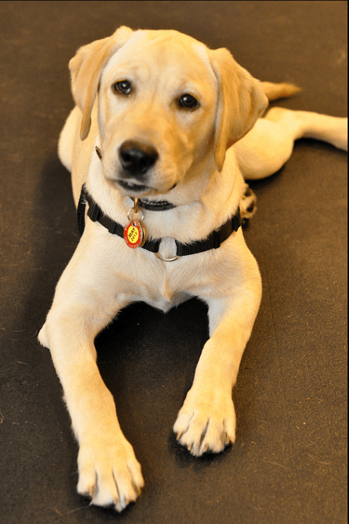 Pet Insurance for Labrador Retrievers
