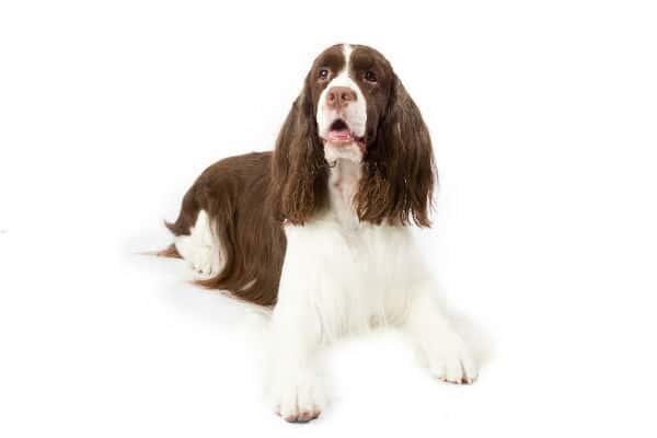 Springer Spaniel Pet Insurance